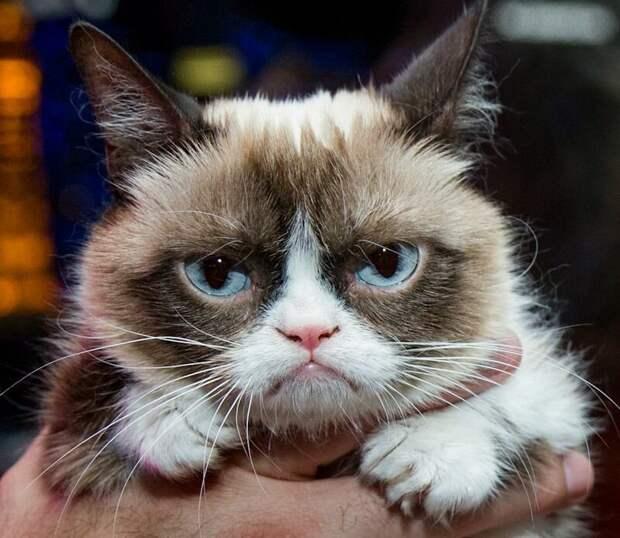Умерла сердитая кошка Grumpy Cat, но в сети нашли ее последователей grumpy cat, животные, коты, кошка, кошки, мем, сердитая кошка, фото