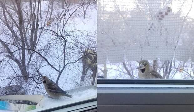 Этого дубоноса сфотографировала жительница Новосибирска Ольга Мыльникова в Бугринской роще.