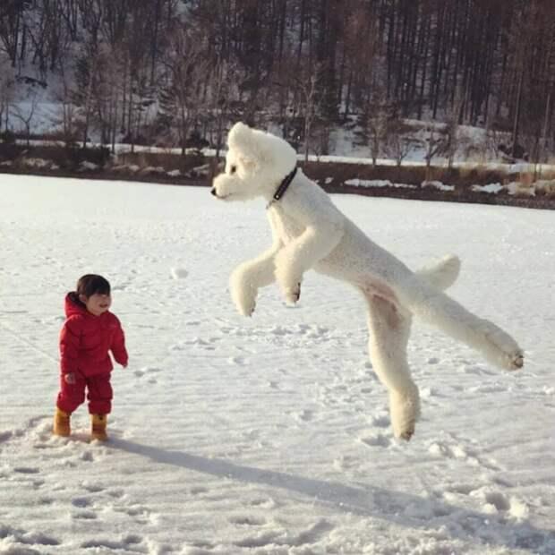Японская девочка дружит с тремя пуделями, и их Инстаграм — милота и пушистость в тройном масштабе Instagram, в мире, животные, люди, милота, пудель, ребенок, собака