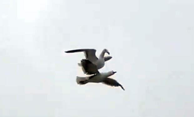 Чайка села сверху на другую летящую чайку и полетела пассажиром: видео
