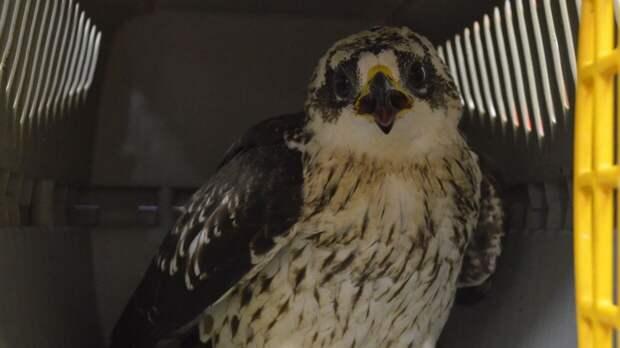 Фотограф из Петербурга поймал в объектив редкую хищную птицу
