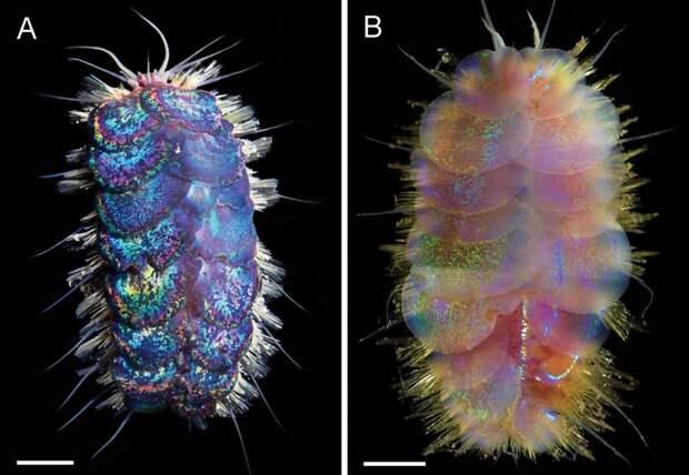 Океанологи открыли странный «гламурный» вид морских существ – «черви Элвиса»