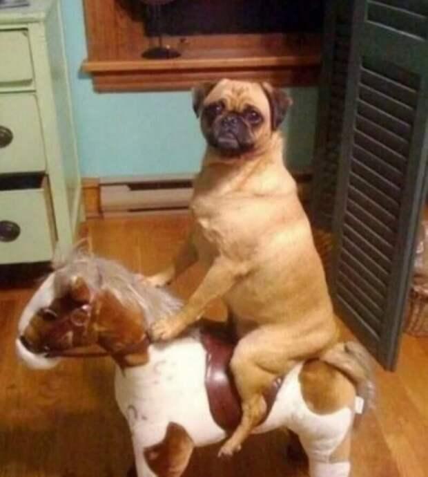 Вперёд, мой верный конь! врасплох, кошки, смешные, собаки, фото, шкодники