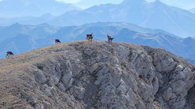 Серны на вершине Пшеха-Су.