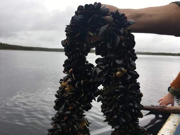 В Карелии займутся выращиванием мидий и создадут эко-курорт на побережье Белого моря