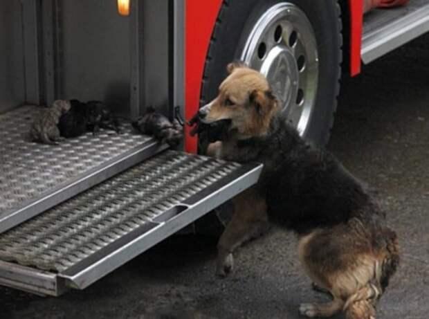 """""""Настоящая мать!"""" Как собака спасла из горящего дома четверых щенят"""