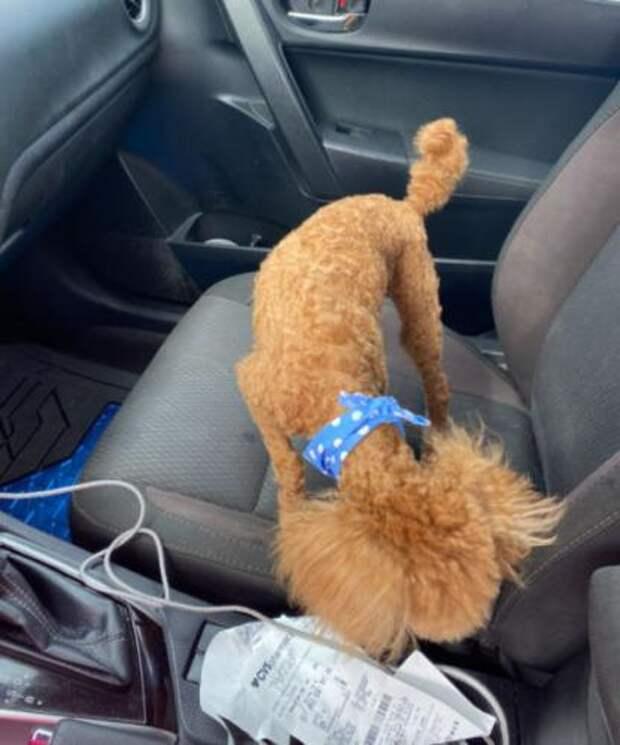 Хозяйка сводила песика в салон и доказала: у собак тоже бывают плохие стрижки