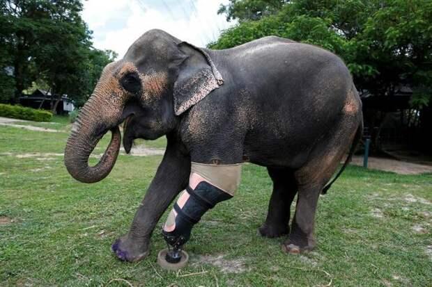 Он спас около 20 тысяч животных. Ортопед из Америки ставит протезы кошкам, верблюдам и даже слонам!