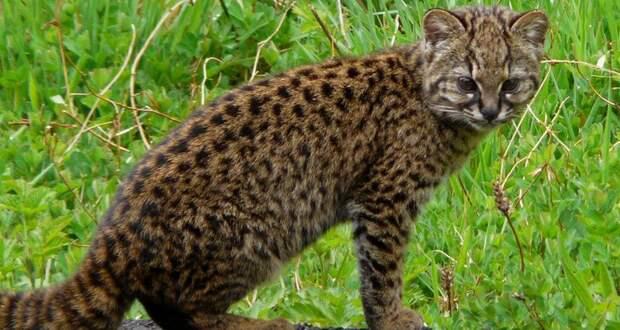 Голос дикой чилийской кошки оказался похож на птичий