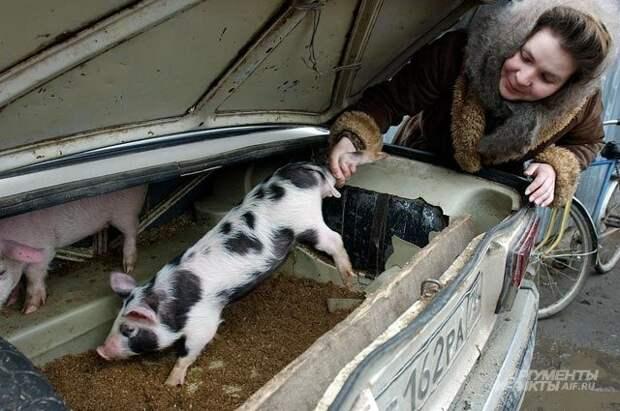Чрезмерное административное давление— вот такую свинью подкладывают чиновники фермерам. Неудивительно, что фермеров становится всё меньше— дешевле выращивать свинок вличном подсобном хозяйстве.