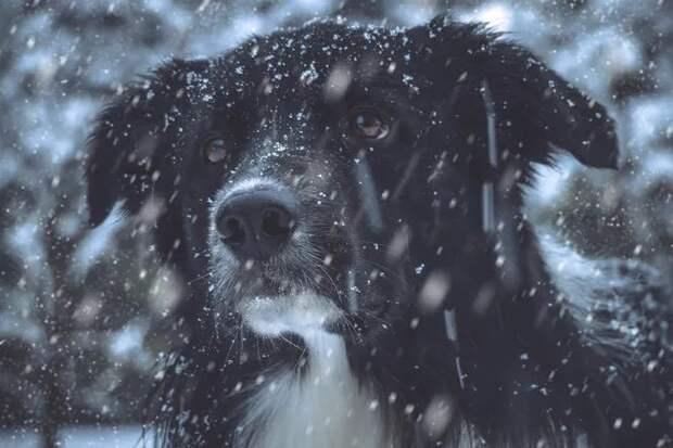 Слепая собака выбрала себе хозяйку и шла к ней по морозу 5 дней