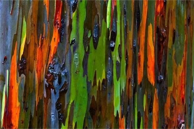 15. Радужные деревья ботаника, вокруг света, интересное, растения