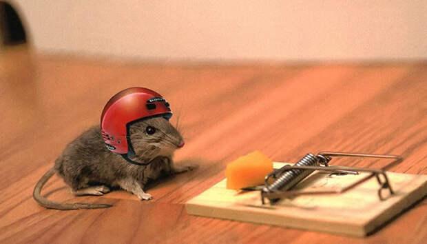 7. Мыши без ума от сыра.  заблуждения, люди, миф