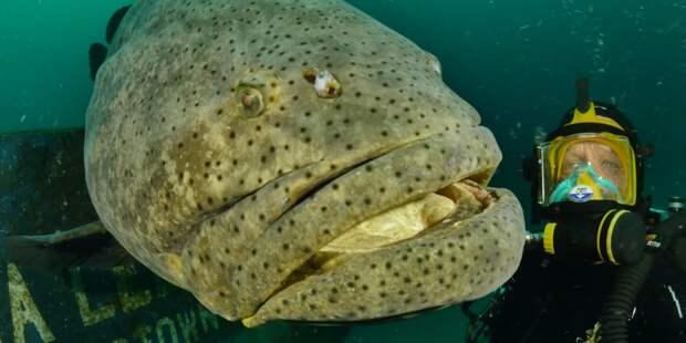 Несмотря на габариты, групер, в основном, охотится на мелкую рыбёшку.
