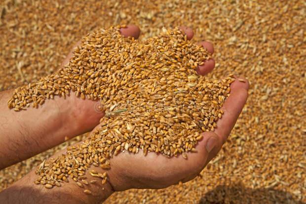 США: Россия соберет 86 млн тонн пшеницы