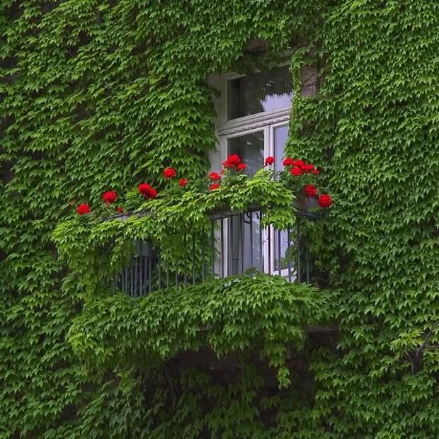 девичий виноград на балконе