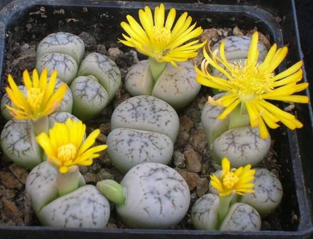 5. Цветущие камни ботаника, вокруг света, интересное, растения