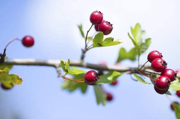 Сердечная ягода. В чём польза боярышника и что из него можно приготовить