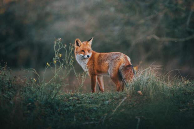 В Архангельском-Тюрикове вакцинируют лис от бешенства
