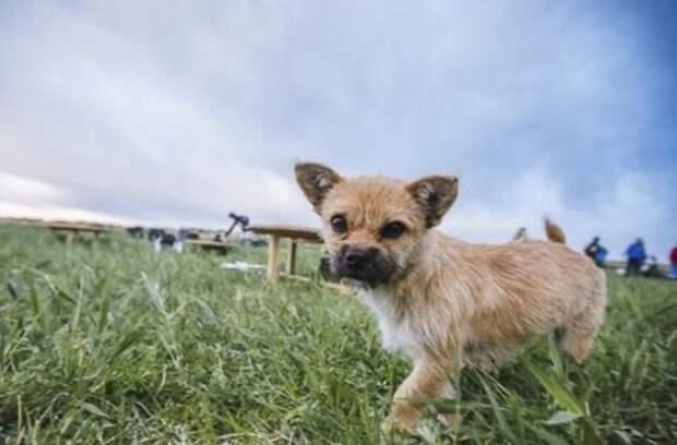 Эта собачка бежала за марафонцем 100 миль. Причина растопит любое сердце!