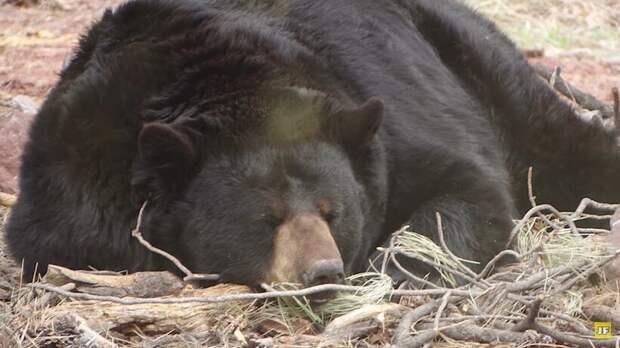 Когда сообщили об утечке газа, люди не ожидали, что причиной будет огромная медведица