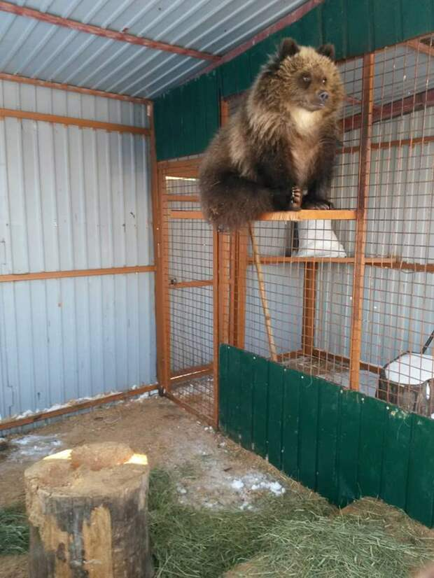 Жители Камчатки собрали деньги на полёт медвежонка-сироты в Москву