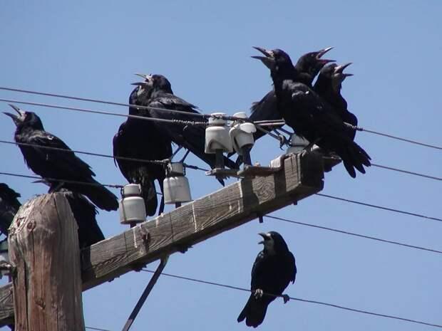 В хорошую погоду грачи любят покачаться на проводах или ветвях, как на качелях.