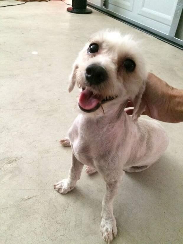 Самая запущенная собака в мире стала красавицей! Пудле-такса прячет еду в диван… и улыбается)