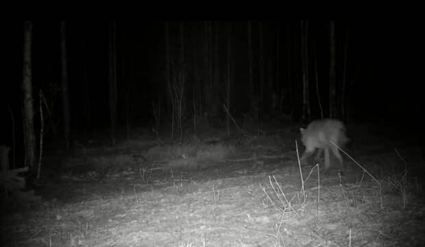 Видео дня: волк убежал от лося в Керженском заповеднике