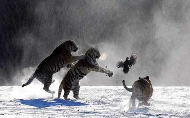 Впечатляющие работы фотографа дикой природы Андрея Гудкова