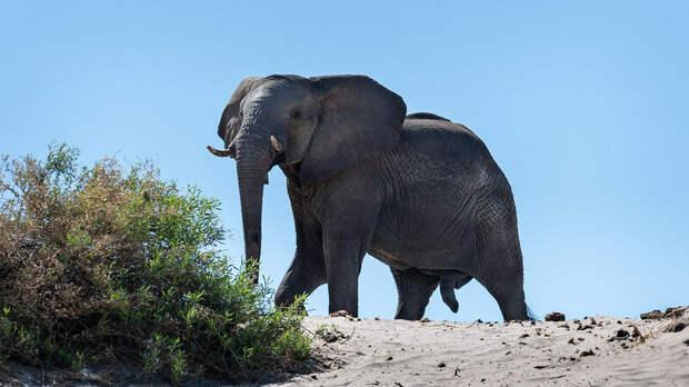 Африканский слон. Фото Michael Jansen (flickr.com)