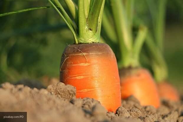 Названы способы, которые помогут защитить морковь от болезней и вредителей