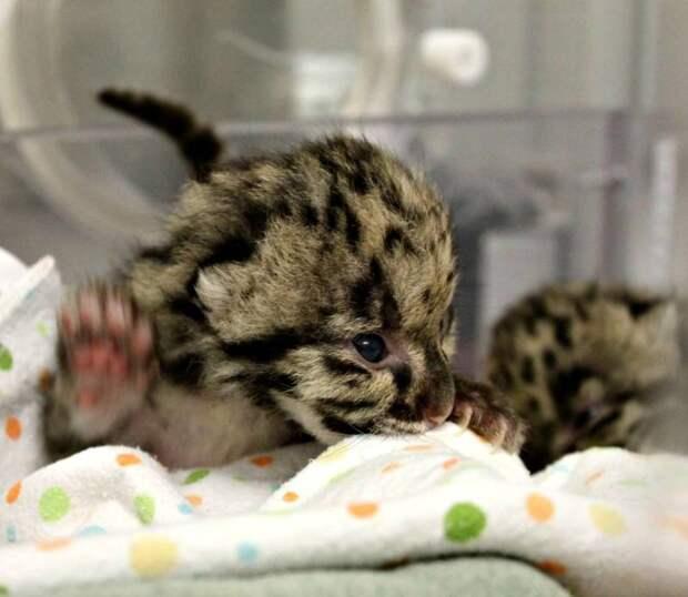 В зоопарке Торонто впервые родились дымчатые леопарды