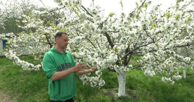 Не пропустите! Подкормка черешни в момент цветения — самая важная для завязывания плодов