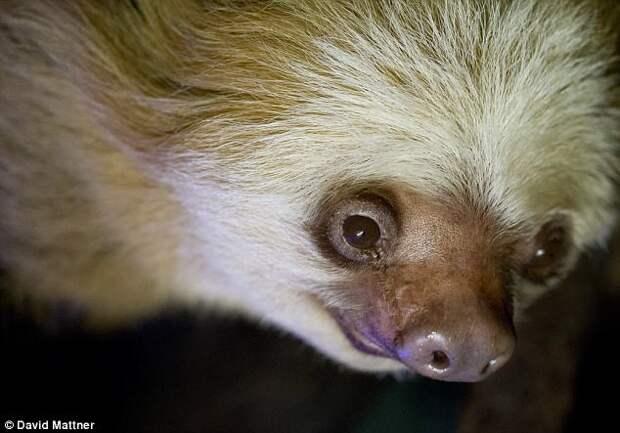 Смерть мисс Си повергла в траур сотрудников зоопарка Аделаиды аделаида, видео, животные, зоопарк, ленивец, старые звери, удивительные звери, феномен