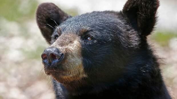 Местные жители встречали медведей в лесу, где ищут главу минздрава Омской области