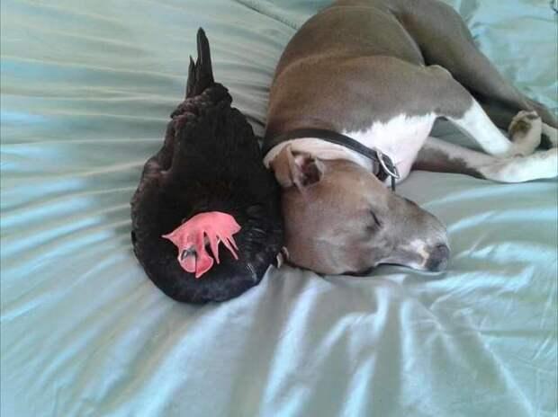 Питбуль заботится о слепой курочке, чувствуя, как она беззащитна