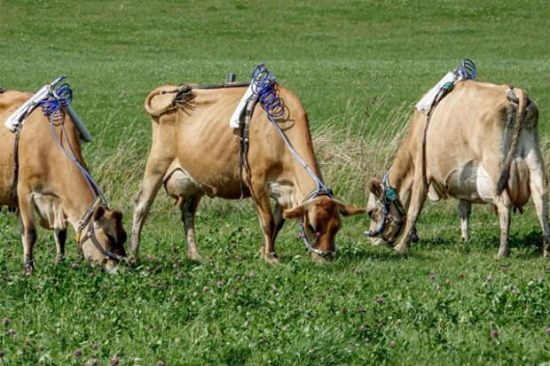 Коровий намордник, улавливающий метан, поможет спасти климат?