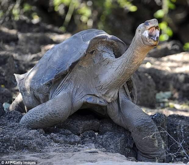 Гигантская черепаха острова Пинта Галапагосы, австралия, животные, интересно, мадагаскар, познавательно, редкие животные, эндемики