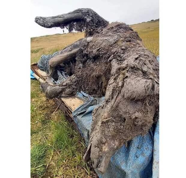 Пещерный медведь возрастом 39000 лет найден в вечной мерзлоте на территории Якутии