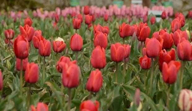 Парад тюльпанов в Крыму: когда увидеть пик цветения и проголосовать за генерала