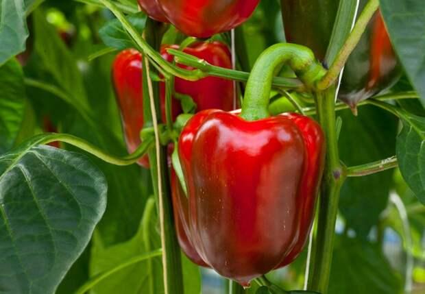 Идеальная рассада болгарского перца