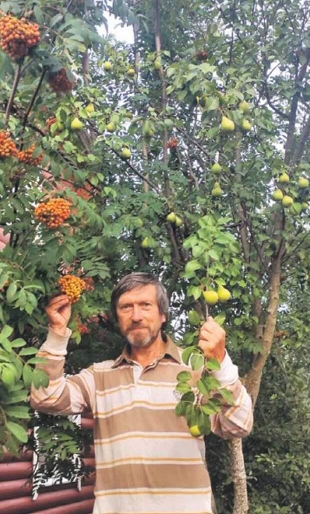 Житель Лосинки собрал урожай груш и рябины с одного дерева