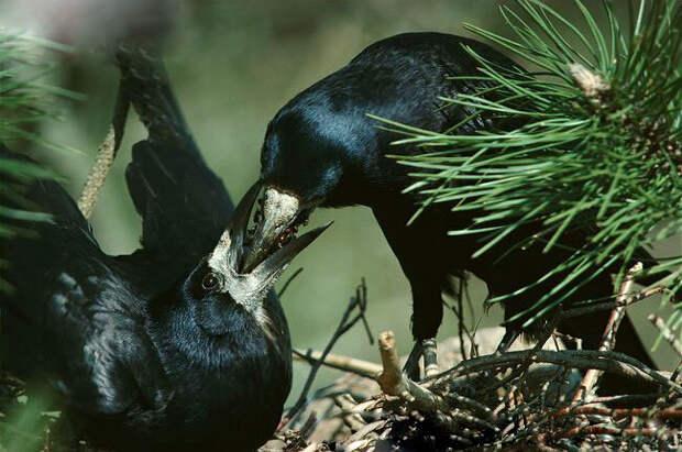 В кладке птиц может быть 2-4 птенца. Оба родители заботятся о потомстве. Самец добывает пищу, а самка высиживает и следит за птенцами.