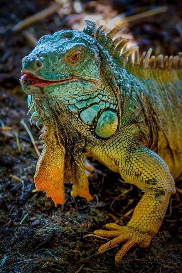 Игуаны обыкновенные (зеленые) интересное, рептилии, ящерицы