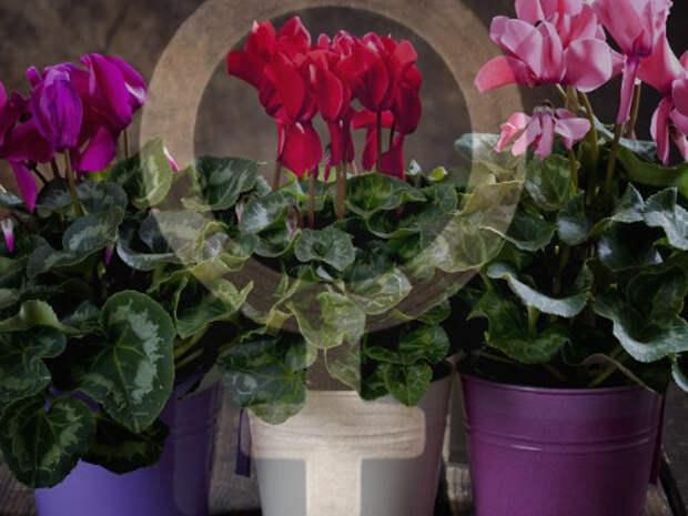 Комнатные растения, привлекающие женскую удачу и избавляющие от одиночества