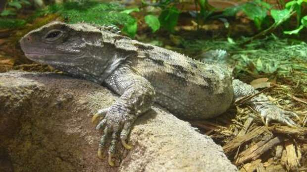 Туатара — самая необычная рептилия из всех ныне живущих на Земле
