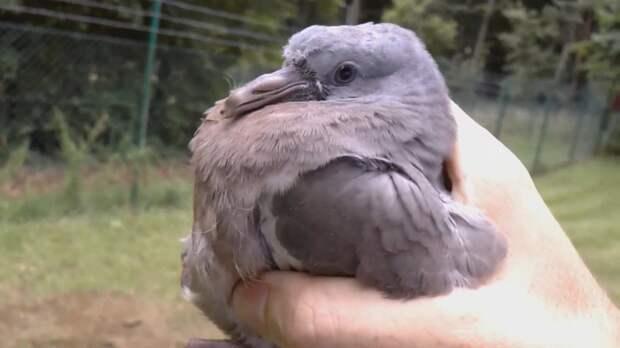 Спас голубя от кошки. Очень трогательное видео