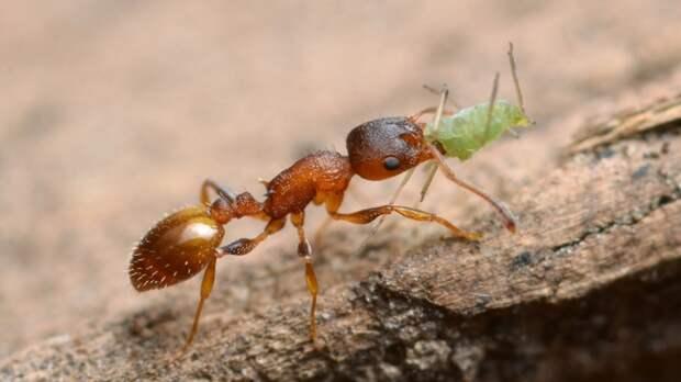 Муравьиный паразит дарит жертвам вечную молодость в обмен на их благоразумие