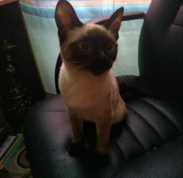 Котёнок сил пойнт оказался ненужным моей подруге, и она просто выставила его за дверь